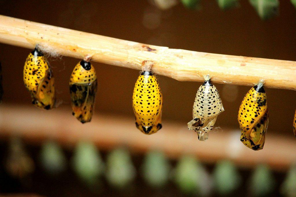 Schmetterling Kokon